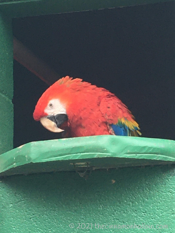 Kentucky Down Under Red Macaw